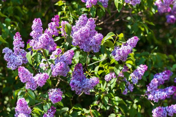 Landscaping Ideas: Use Good Scents