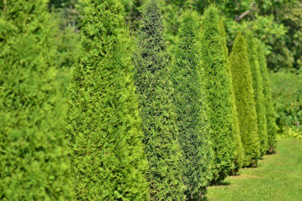Arborvitae:  Useful, Versatile, and Beautiful