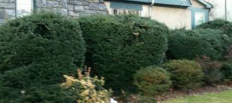 Overgrown Yews Taxus We Done Yew Wrong