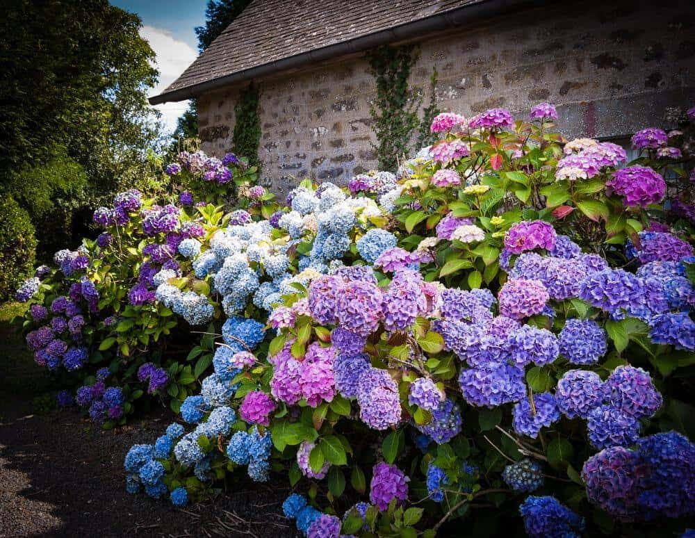 hydrangea best Michigan