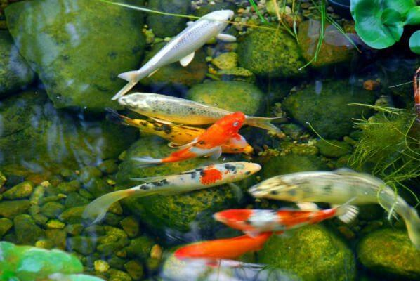 What 39 s your landscape style foreign or domestic for Stone koi pond