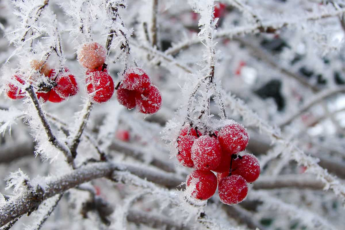 add berries for winter interest