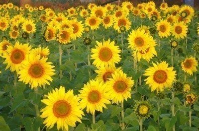 sunflowers children