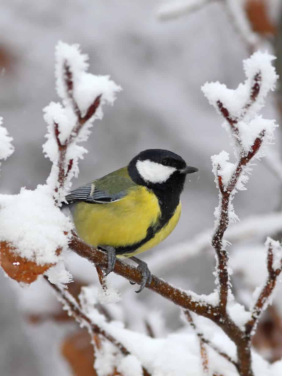 chickadee in winter